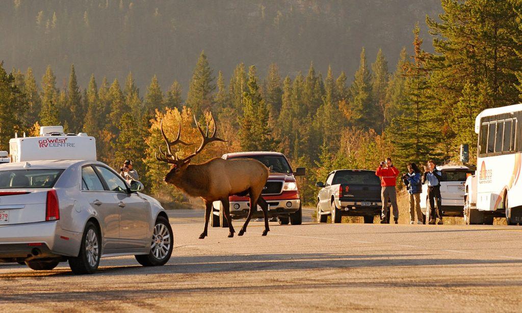 A bit too close for comfort, as a bull elk crosses the Yellowhead Highway near Jasper, Jasper National Park, Canada.