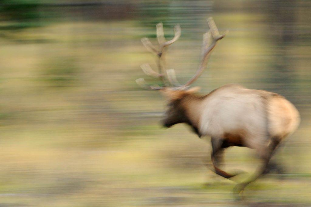 A bull elk rushes to charge an opponent near Jasper, Jasper National Park, Canada
