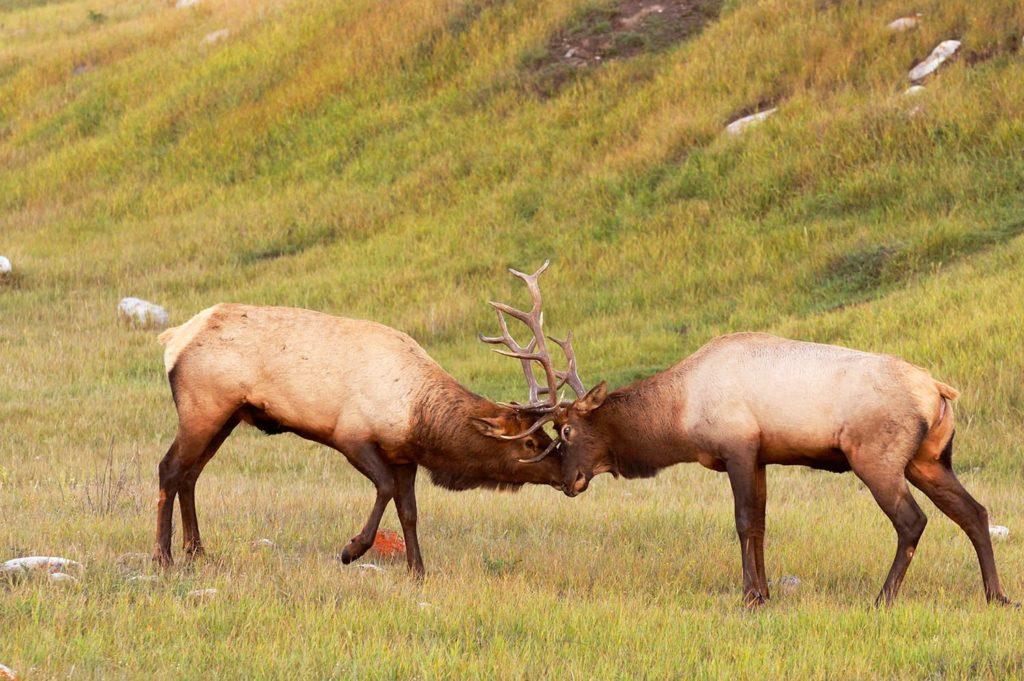 Bull elk fighting, Jasper National Park, Canada