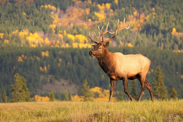 Jasper National Park in the Fall – Bugles and Brilliance